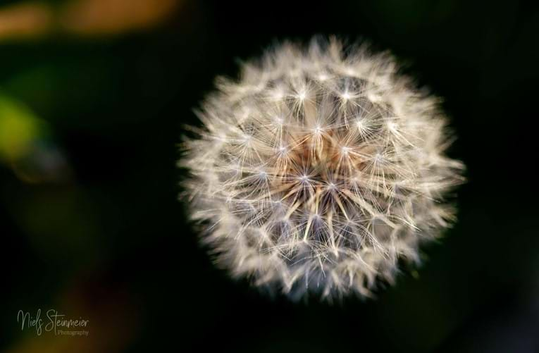 21/2 – Little Dandelion